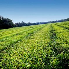 Charleston Tea Plantation | 10 Best Charleston Plantations via @USATODAY @10Best | History Lives: Visit Charleston's Antebellum Plantations to Picnic, Explore and Learn http://www.10best.com/destinations/south-carolina/charleston/attractions/plantations/