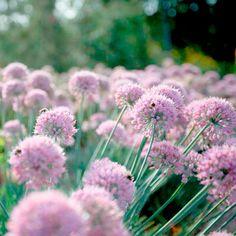 Allium Plant - In Orbit - All Flower Plants - Flower Plants - Flowers - Garden - Dobies of Devon