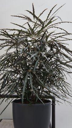 Schefflera of Plerandra elegantissima: licht, maar geen direct zonlicht, tussen twee gietbeurten bovenste 2,5 cm laten opdrogen, verpotten kan in de lente indien nodig