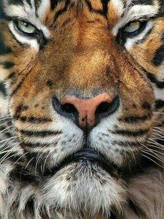 wild cats: handsome mean bastard: Sumatran Tiger, Kampar Beautiful Cats, Animals Beautiful, Cute Baby Animals, Animals And Pets, Wild Animals, Big Cats, Cats And Kittens, Regard Animal, Grand Chat