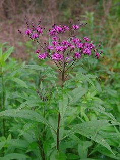 of two beautiful and majestic purple wildflowers, Ironweed, Vernonia ...