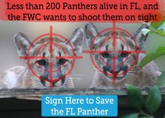 Environmental Action Save the Florida Panther!