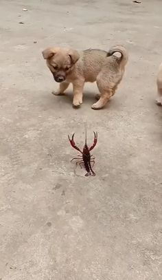 Puppies playing with a lobster - Wow - Hunde Funny Animal Memes, Cute Funny Animals, Funny Animal Pictures, Cute Baby Animals, Funny Dogs, Animals And Pets, Happy Animals, Cute Puppies, Cute Dogs