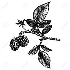 Image result for red raspberry leaf herbal drawing
