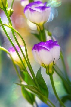 ~~summertime | lisianthus in the summer morning sun, a garden bokeh | by Monique Felber~~