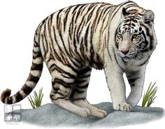 White Tiger (Panthera tigris) Line Art and Full Color Illustrations