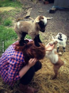 Woman attacked by three goats and nearly killed by cuteness. I love goats.