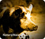 Confirmed: Michigan pig ban will eliminate all heritage breeds, destroy thousands of small-scale farms
