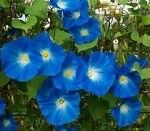 Heavenly Blue Morning Glory Seeds 1000 Seeds by TreeSeedscom Morning Glory Vine, Morning Glory Flowers, Morning Glories, My Flower, Flower Power, Beautiful Flowers, Beautiful Sky, Flower Vines, Cactus Flower