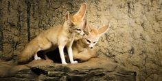 Fennec Fox by shaine cartwright on 500px