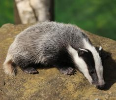 .Badger-cub-by-Peter-Hedger