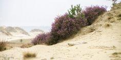   flowering heather   bloeiende heide