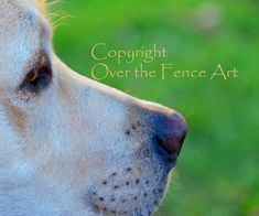 Dog Photography YELLOW LABRADOR  PUPPY Photograph Greeting Card  Dog Portrait Pet Portrait by overthefenceart on Etsy
