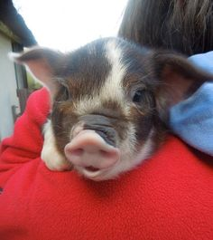 teacup pig! I want one!!!