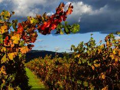 Fall in Napa Valley - (www.JessicaEmery.com)