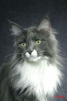 Maine Coon, blue solid & white (a 09). Photo by #HelmiFlick