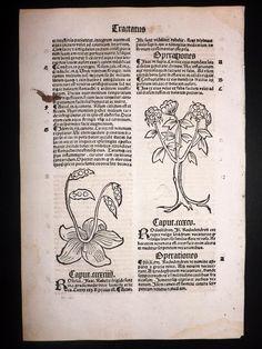Hortus-Sanitatis-1517-Medieval-Woodcut.-Botanical-Herbal-Leaf-139-[1]-164597-p.jpg (788×1050)