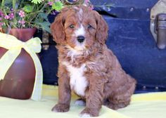Listing Puppy for Sale Cockapoo Puppies For Sale, Mount Joy, Pennsylvania, Gender, Age, Music Genre