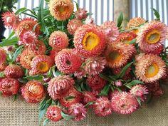 Strawflower October Flowers, Late Summer Flowers, Fall Flowers, Fresh Flowers, Beautiful Flowers, Wedding Flowers, Deer Proof Plants, Garden Party Wedding, Diy Bouquet