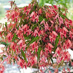 San Francisco Begonia