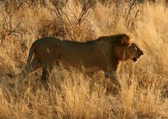 Lion @ Etosha Nature Reserve