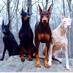 That white doberman is beyond cute. It's like the doberman printer ran out of ink! Big Dogs, I Love Dogs, Cute Dogs, Dogs And Puppies, Doggies, Beautiful Dogs, Animals Beautiful, Funny Animals, Cute Animals