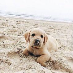 Resultado de imagem para labrador in the beach