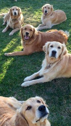 OMG look at all the Goldens!! #goldenretriever