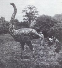 now extinct moa new zealand. that was a real bird that got to 12ft.. makes me hate mankind for things like this
