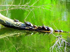 Painted Turtles Sunning on a Log by carliewired, via Flickr