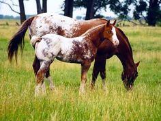 JUST LIKE MOM...APPALOOSA HORSE