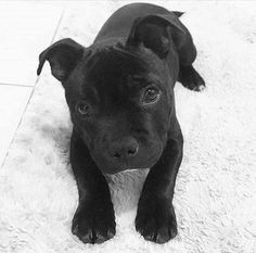 This sweet pitbull puppy will bring you joy. Dogs are awesome creatures. Black Pitbull Puppies, Cute Dogs And Puppies, I Love Dogs, Doggies, Cute Funny Animals, Cute Baby Animals, Animals And Pets, Beautiful Dogs, Animals Beautiful