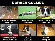 Border Collie Funny Memes, Border Collies #bordercollie