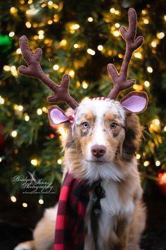 christmas photoshoot achoirofcritters: Guess what we did today Christmas photoshoot! Dog Christmas Pictures, Christmas Puppy, Christmas Animals, Christmas Photo Cards, Christmas Ornaments, Puppy Pictures, Dog Photos, Shotting Photo, Dog Calendar