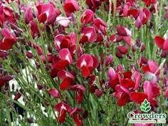 Cytisus x praecox Boskoop Ruby Sea Containers, Shrubs, Beautiful Flowers, Plants, Gardens, Outdoor Gardens, Shrub, Plant, Garden