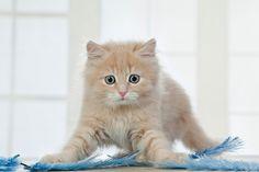 Die Fototapete zeigt cremefarbenes Kätzchen im Spiel mit blauen Federn. Neugierig hält sie in ihrem Spiel inne und wartet voller Spannung darauf, was wohl als Nächstes passieren wird. Eine Fototapete, nicht nur für Katzenliebhaber. #wallpaper