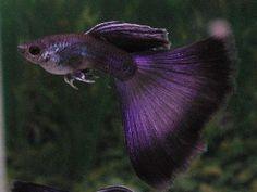 Base fish for Alana? Saltwater Aquarium Setup, Betta Aquarium, Tropical Fish Aquarium, Saltwater Tank, Pretty Fish, Cool Fish, Beautiful Fish, Guppy, Tropical Freshwater Fish