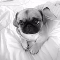Baby Pug Dogs Information Animal Pictures For Kids, Funny Animal Pictures, Animals For Kids, Baby Pug Dog, Pet Dogs, Pets, Doggies, Cute Funny Animals, Cute Baby Animals
