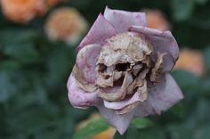 dry, i see a skull, nature, pink, rose, skull
