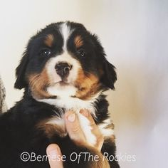 Mr. Handsome!  #berneseoftherockies @bernesedaily @berners101 @bernesemountaindoglovers  @bernesebuddies @bernesemountaindogs @pupflix @puppypcute @fluffypack @dogsofinstagram @caninesouls @dogkandy @dogsofco @colorado @aww @awwfeed @mydogiscutest @dogcutepics