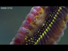 "Weedy Sea Dragons (seahorse relative)  ""Life - Weedy seadragons dance into the night - BBC One"""