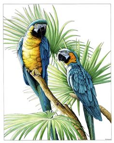 """Macaws, pen & ink and watercolor 15"""" x 20"""""""