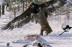 z- Golden Eagle vs Siberian Wolf
