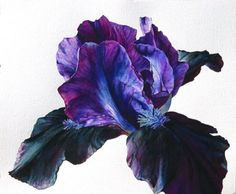 Online galleries of original flower paintings and watercolours by contemporary botanical artist Rosie Sanders. Iris Flowers, Botanical Flowers, Botanical Prints, Watercolor Cards, Watercolor Illustration, Watercolor Flowers, Art Floral, Illustration Botanique, Flower Artwork