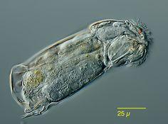 El rotíferos (Rotatoria) de Alemania y coutries vecinos: Cephalodella catellina Mueller 1786, Notommatidae, Ploimida, monogononta, rotíferos, Syndermata