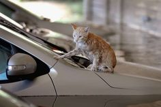 Pet rescues from Harvey floodwaters  -  September 2, 2017:  A cat sits on top of a car surrounded by floodwater in the parking lot of a Houston apartment complex on August 30, 2017.