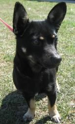NACHO is an adoptable Chihuahua Dog in Summersville, WV. Nacho is a black/brown male Chihuahua mix. He is friendly, gets along with other dogs, and would be best suited for a home without small child...