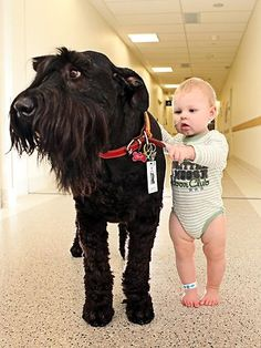 Ralf the Giant Schnauzer helps sick children in Melbourne, Australia get back on their feet :) The healing power of pets <3