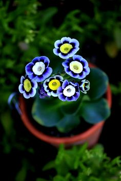 Awesome Auricula