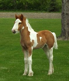 Prairie Thunder Ranch - For Sale Purebred Gypsy Vanner Horses